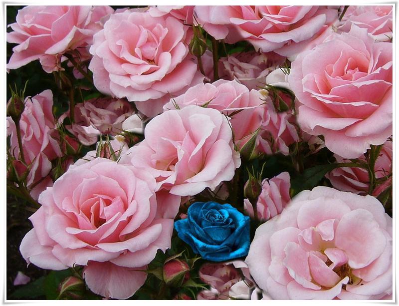 1б roses